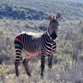 CapeNature, Sanbona Wildlife Reserve capture, translocate Cape mountain zebra