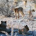 Knowledge hub launched to help save African Lion