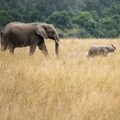 18th CITES Conference votes to end export of wild-caught elephants into captivity