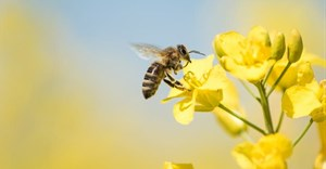 Bees: How important are they and what would happen if they went extinct