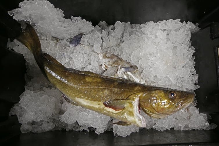 An Atlantic cod on ice. Cod fisheries in the North Sea and Irish Sea are declining due to overfishing and climate change.