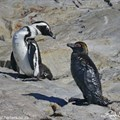 Ships' risky fuel transfers are threatening African Penguins