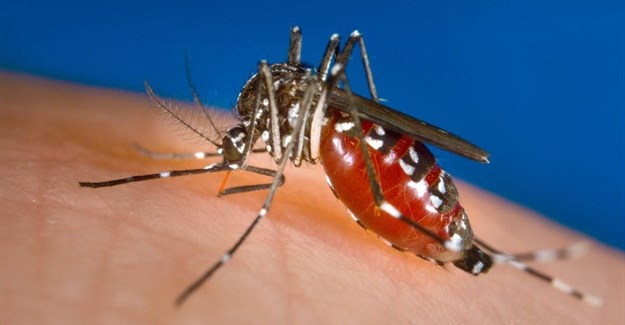 A female Aedes albopictus mosquito feeding on a human host. James Gathany/CDC