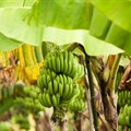 FAO, partners launch emergency project to help countries combat banana disease threat