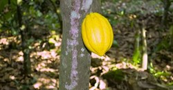 Ghana's cocoa farmers are trapped by the chocolate industry