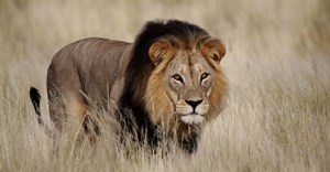 Trophy hunting - can it really be justified by 'conservation benefits'?