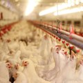 Chicken meat imports dominate the South African poultry market