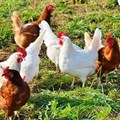 Poultry sector masterplan launch promises increased production, job creation