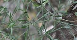 Cladogelonium madagascariense, more commonly known as tsontso in Madagascar. Tianarilalaina Tantely, Andriamampianina