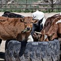 Livestock owners urged to remain vigilant for FMD clinical signs