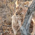 Samara welcomes birth of first lion cubs