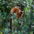Lemurs are the world's most endangered mammals, but planting trees can help save them