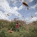 Locust invasions are cyclical: African states shouldn't be caught napping
