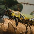 East Africa locust invasion approaching full-blown crisis