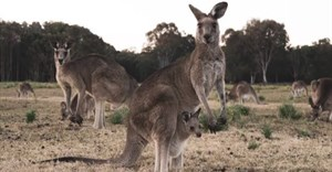 Kangaroo skins are exported for use in football boots, motorcycle suits, fashion footwear and haute couture. , CC BY