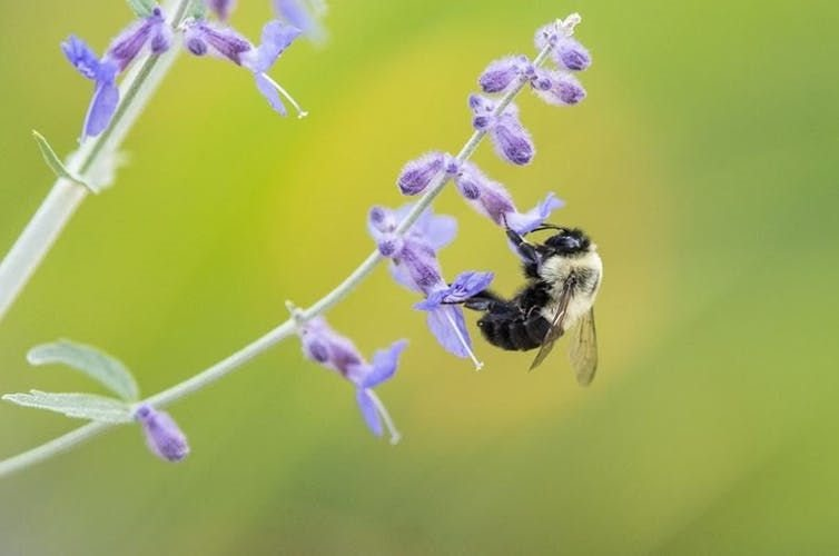 Native bumble bees perform 'buzz pollination,' shaking flowers to release protein-rich pollen. A. Westreich,