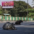 Stray cows rest on a New Delhi street during a one-day civil curfew to combat coronavirus. Cattle may have been central to a coronavirus outbreak in 1890. Yawar Nazir/Getty Images