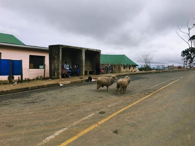 Animals in the road in front of Zithulele Hospital.