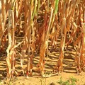 Climate change a risk to agricultural production