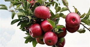Satisfactory apple harvests for South Africa and New Zealand