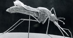 Anopheles Stephensi, Sem. Photo By BSIP/Universal Images Group via Getty Images