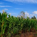 SA leads Africa's maize trade during Covid-19