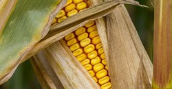 Maize meal initiative launched to help feed SA's vulnerable