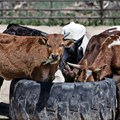 Can the next pandemic come from your livestock?