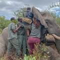 Elephants Alive pioneers online experience of elephant collaring