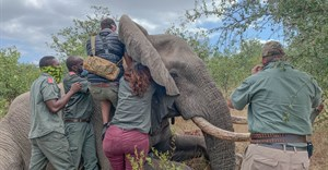 Elephants Alive pioneers online experience of elephant collaring