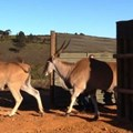 Eland released in Western Cape wine estate to boost ecosystem diversity