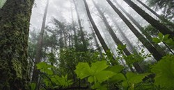Are young trees or old forests more important for slowing climate change?