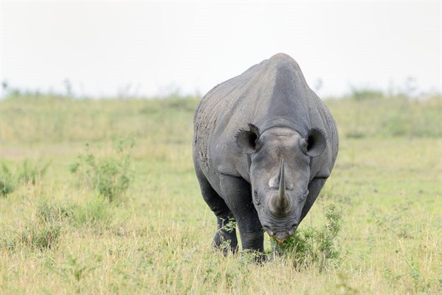 Technology gives hope to Africa's endangered Northern white rhinos