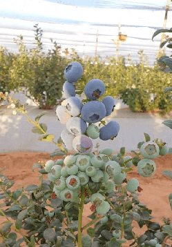 Blueberries reach maturity and ripen at different stages on the same bush. This allows for a longer harvesting season usually lasting three to four months.
