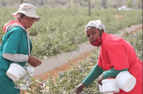 Because blueberries must be hand-harvested to ensure that fruit is not damaged or bruised, the industry offers excellent employment opportunities for seasonal workers. During peak harvest times, a larger staff contingent is required for this highly labour-intensive work. Pictured here are Mitrud Shirongo (left) and Ester Marungu (right) from Mashare village.
