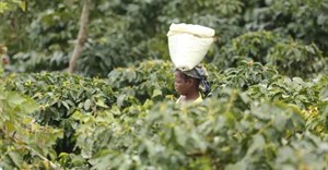 Do you know where your coffee comes from? The Covid-19 pandemic has highlighted the importance of knowing about our supply chains. Here, a woman carries harvested coffee beans in a coffee plantation in Mount Gorongosa, Mozambique, in August 2019. (AP Photo/Tsvangirayi Mukwazhi)