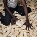 Why more Ugandan farmers aren't adopting drought tolerant maize