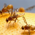 ARC aims to free Southern Africa from the fruit fly