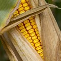 Will Zimbabwe's ambition to notably lift its maize production in 2020/21 materialise?
