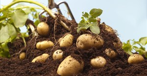 Covid-19 threatens the South African potato industry