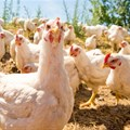 Local poultry production shows moderate growth