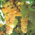 Sundowner raisin cultivar wins ARC research, technology award