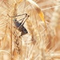Explainer: What's behind the locust swarms damaging crops in southern Africa