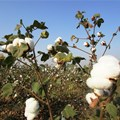 Loss of capacity and skills in cotton value chain costs SA R20bn