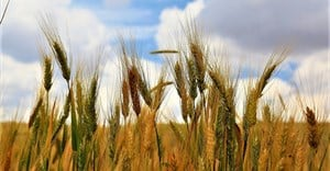 Climate threats spark exciting research into drought tolerant crops