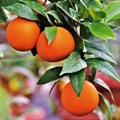 US opens new ports to South African citrus exports