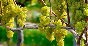 Promising 2021 SA wine grape harvest expected