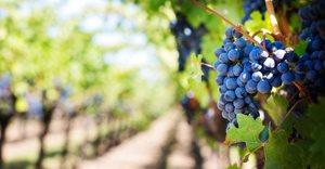 Pick n Pay to support local wine industry in 2021