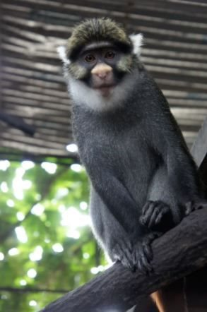 Sclater's guenon: this monkey in Nigeria could lose up to 99% of its remaining habitat to agriculture. ,