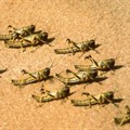 FAO seeks funds as Desert Locust swarms threaten food security in Africa, Yemen
